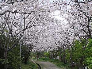 Sakura060412