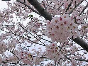 Sakura060412b